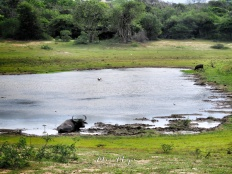 Water Buffalo, Wild Boar, Crocodile and Stork - Yala National Park - Sri Lanka - by Anika Mikkelson - Miss Maps - www.MissMaps.com
