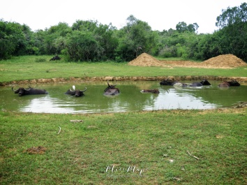 Water Buffaloes Bathing - Yala National Park - Sri Lanka - by Anika Mikkelson - Miss Maps - www.MissMaps.com