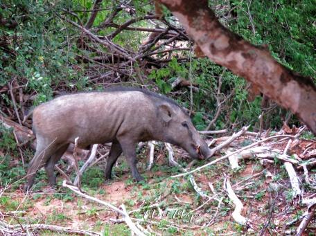 Wild Boar - Yala National Park - Sri Lanka - by Anika Mikkelson - Miss Maps - www.MissMaps.com