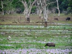 Wild Boars Birds and Buffalo - Yala National Park - Sri Lanka - by Anika Mikkelson - Miss Maps - www.MissMaps.com