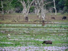 Wild Boars Birds and Buffalo - Yala National Park - Sri Lanka - by Anika Mikkelson - Miss Maps - www.MissMaps.com