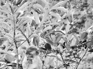 Baby Monkey in Black and White - Mauritius - by Anika Mikkelson - Miss Maps - www.MissMaps.com