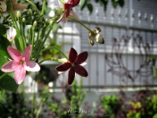 Holy Lotus Garden - Mauritius - by Anika Mikkelson - Miss Maps - www.MissMaps.com