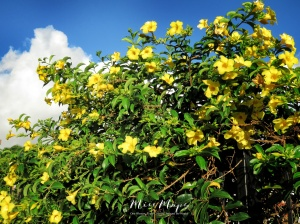 Yellow Flowers in the Garden - Mauritius - by Anika Mikkelson - Miss Maps - www.MissMaps.com