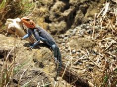 Agama Agama Lizard - Lake Nakuru Kenya - by Anika Mikkelson - Miss Maps - www.MissMaps.com
