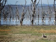 Baby Zebra and Lake - Lake Nakuru Kenya - by Anika Mikkelson - Miss Maps - www.MissMaps.com