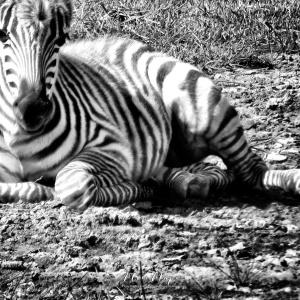 Baby Zebra in Black and White - Closeup - Lake Nakuru Kenya - by Anika Mikkelson - Miss Maps - www.MissMaps.com