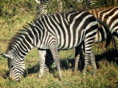 Black and Brown and White Zebra - Lake Nakuru Kenya - by Anika Mikkelson - Miss Maps - www.MissMaps.com