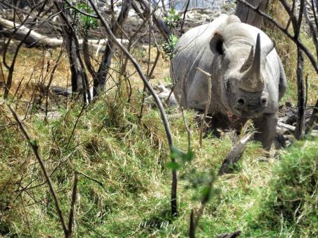 Black Rhino - Lake Nakuru Kenya - by Anika Mikkelson - Miss Maps - www.MissMaps.com
