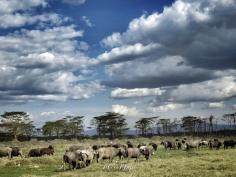 Buffalo Herd - Lake Nakuru Kenya - by Anika Mikkelson - Miss Maps - www.MissMaps.com