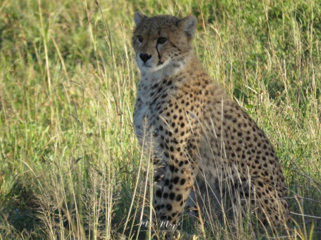 Cheetah Cub - Serengeti National Park - by Anika Mikkelson - Miss Maps - www.MissMaps.com