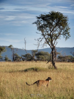 Cheetah Ready to Run - Serengeti National Park - Tanzania - by Anika Mikkelson - Miss Maps - www.MissMaps.com
