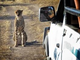 Cheetah Road Block - Namibia - by Anika Mikkelson - Miss Maps - www.MissMaps.com