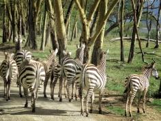 Dazzle of Zebras - Lake Nakuru Kenya - by Anika Mikkelson - Miss Maps - www.MissMaps.com