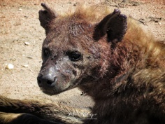 Dirty Hyena - Serengeti National Park - Tanzania - by Anika Mikkelson - Miss Maps - www.MissMaps.com