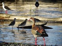 Egyptian Goose - Lake Nakuru Kenya - by Anika Mikkelson - Miss Maps - www.MissMaps.com