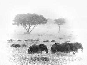 Elephants and Buffalo in Black and White - Queen Elizabeth National Park - Uganda - by Anika Mikkelson - Miss Maps - www.MissMaps.com