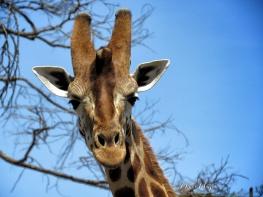 Giraffe Smiles - Lake Nakuru Kenya - by Anika Mikkelson - Miss Maps - www.MissMaps.com