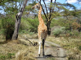 Giraffe Strutting Down the Road - Lake Nakuru Kenya - by Anika Mikkelson - Miss Maps - www.MissMaps.com