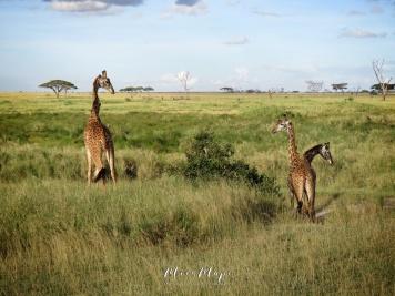 Giraffe Trio - Serengeti National Park - Tanzania - by Anika Mikkelson - Miss Maps - www.MissMaps.com