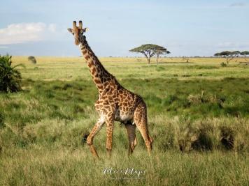 Giraffe Walking - Serengeti National Park - Tanzania - by Anika Mikkelson - Miss Maps - www.MissMaps.com