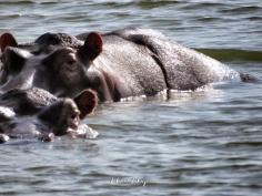 Hippo Eyes - Queen Elizabeth National Park - Uganda - by Anika Mikkelson - Miss Maps - www.MissMaps.com