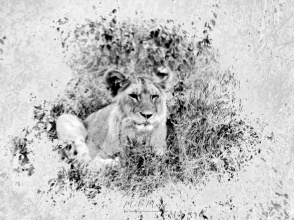 Lion Cub in Black and White - Serengeti National Park - Tanzania - by Anika Mikkelson - Miss Maps - www.MissMaps.com