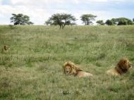 Lion Family - Serengeti National Park - Tanzania - by Anika Mikkelson - Miss Maps - www.MissMaps.com