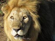 Lion Master - Serengeti National Park - Tanzania - by Anika Mikkelson - Miss Maps - www.MissMaps.com