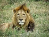 Lion Super Pose - Serengeti National Park - Tanzania - by Anika Mikkelson - Miss Maps - www.MissMaps.com