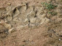 Lion Tracks - Serengeti National Park - Tanzania - by Anika Mikkelson - Miss Maps - www.MissMaps.com