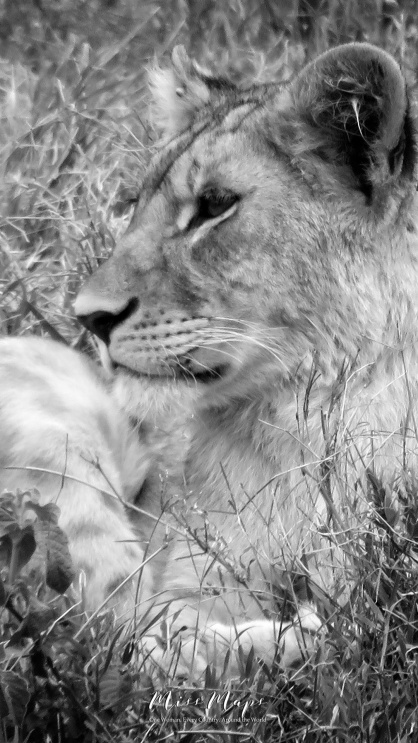 Lioness in Black and White - Serengeti National Park - Tanzania - by Anika Mikkelson - Miss Maps - www.MissMaps.com