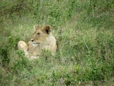 Lionness - Serengeti National Park - Tanzania - by Anika Mikkelson - Miss Maps - www.MissMaps.com