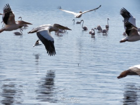 Pelicans and Seagulls Flying and Flamingos Basking - Lake Nakuru Kenya - by Anika Mikkelson - Miss Maps - www.MissMaps.com