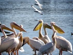Pelicans - Lake Nakuru Kenya - by Anika Mikkelson - Miss Maps - www.MissMaps.com