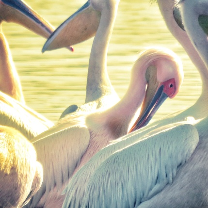 Pink Pelicans - Lake Nakuru Kenya - by Anika Mikkelson - Miss Maps - www.MissMaps.com