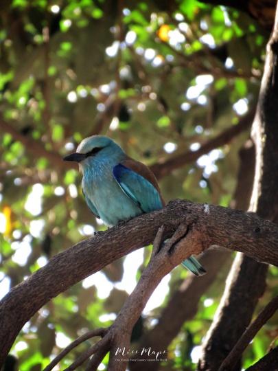 Roller Bird - Lake Nakuru Kenya - by Anika Mikkelson - Miss Maps - www.MissMaps.com