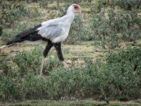 Secretary Bird - Serengeti National Park - Tanzania - by Anika Mikkelson - Miss Maps - www.MissMaps.com