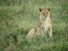 Toddler Lion Cub - Serengeti National Park - Tanzania - by Anika Mikkelson - Miss Maps - www.MissMaps.com