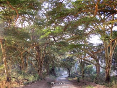 Tree Tunnel - Lake Nakuru Kenya - by Anika Mikkelson - Miss Maps - www.MissMaps.com