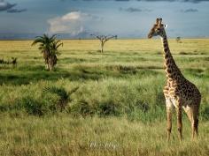 Twigga Portfolio Photo - Serengeti National Park - Tanzania - by Anika Mikkelson - Miss Maps - www.MissMaps.com