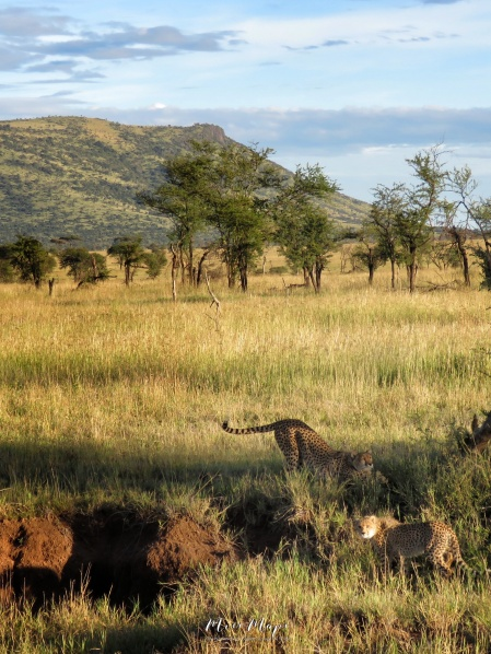 Two Cheetah Stretching - Serengeti National Park - Tanzania - by Anika Mikkelson - Miss Maps - www.MissMaps.com