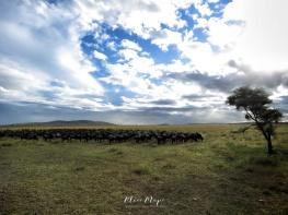 Water Buffalo Herd - Serengeti National Park - Tanzania - by Anika Mikkelson - Miss Maps - www.MissMaps.com