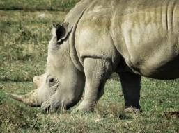 White Rhino - Lake Nakuru Kenya - by Anika Mikkelson - Miss Maps - www.MissMaps.com copy
