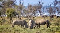 White Rhino Trio - Lake Nakuru Kenya - by Anika Mikkelson - Miss Maps - www.MissMaps.com