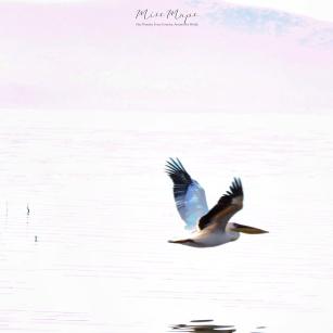 Whitewashed Pelican in Flight - Lake Nakuru Kenya - by Anika Mikkelson - Miss Maps - www.MissMaps.com
