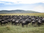Wildebeest Migration - Serengeti National Park - Tanzania - by Anika Mikkelson - Miss Maps - www.MissMaps.com