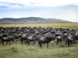 Wildebeest Migration - Serengeti National Park - Tanzania - by Anika Mikkelson - Miss Maps - www.MissMaps.com