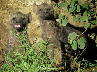 Baby Hyenas - Serengeti National Park - Tanzania - by Anika Mikkelson - Miss Maps - www.MissMaps.com