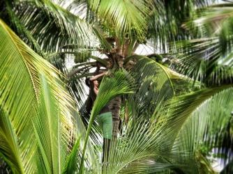 Boy Cutting Coconuts - Comoros - by Anika Mikkelson - Miss Maps - www.MissMaps.com